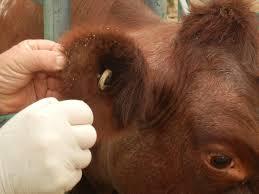 bentley orangutan bovine anaemia due to theileria orientalis group batog