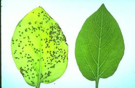 role of solanum tuberosum helper nlrs in phytophthora infestans