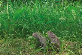prairie vole partners split up if one drinks more than the other