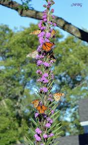 butterfly plants list butterfly flowers and host plant ideas with