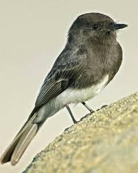California Backyard Birds by Black Phoebe Audubon Field Guide