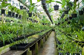 orchid plants for sale akerne orchids our nursery