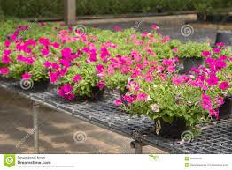 flowers in pots on sale in plants nursery stock photo image