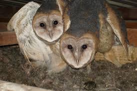 North American Barn Owl Barn Owl Removal Houston Dallas Fort Worth 911 Wildlife