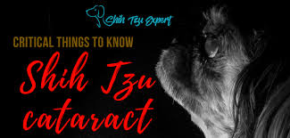 Cataract Leads To Blindness Due To Shih Tzu Cataract Should Be Detected Early And Treated To Avoid