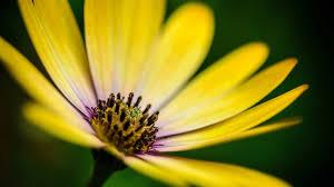 yellow daisy wallpapers free daisy mac wallpapers imac wallpapers retina macbook pro