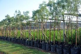 suppliers of indigenous trees willow feather farm