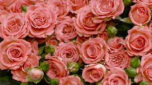 big bouquet of roses big bouquet of pink roses pink flower flowers many flowers