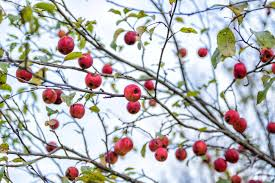 crab apple the canadian encyclopedia