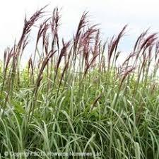 ornamental grasses uk landscape restoration