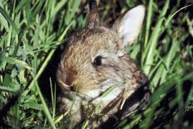 home remedies to keep rabbits out of the garden home guides sf