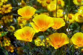 isolated shot of a yellow california poppy flower stock photo