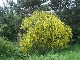 shrubs1 jpg