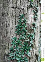 vine climbing a tree royalty free stock photos image 6768588