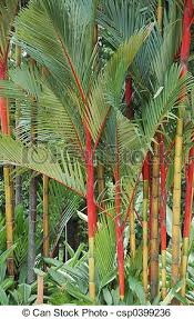 stock image of ornamental palm trees palms planted for