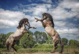 mustangs mating stallions konik horses square in bloody fight for mating