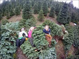 christmas tree for sale sefs christmas tree sale place your orders offshoots