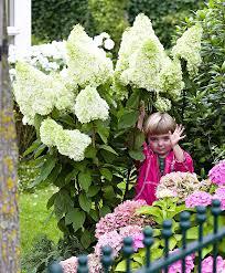 panicle hydrangea u0027magical moonlight u0027 product photo garden