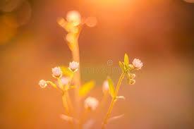 imagenes flores relajantes primer de las flores del verano de la puesta del sol la margarita