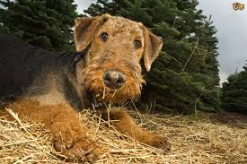 brushing a bedlington terrier top grooming tips for airedale terriers pets4homes
