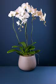 Orchid Plants Two Large Orchid Plants In A Ceramic Pot Aflorum Florist