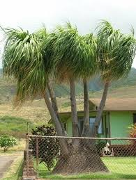 best 25 ponytail palm tree ideas on ponytail plant