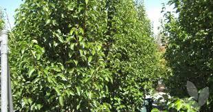 pyrus calleryana cleveland select ornamental pear library