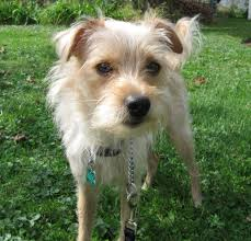 haircut ideas for long hair jack russell dogs tr a wire haired terrier mix youtube