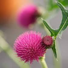 cirsium rivulare atropurpureum wyevale garden centres
