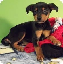 australian shepherd kansas kansas adopted puppy struthers oh doberman pinscher