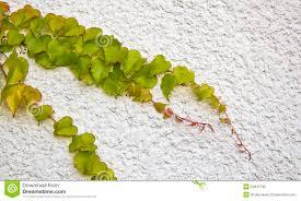 climbing vine on wall royalty free stock photo image 34947795