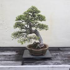 the 400 year old bonsai tree ashley hackshaw lil blue boo