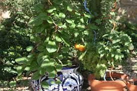 Eggplant In Container Garden Grow Edible Plants In Any Garden
