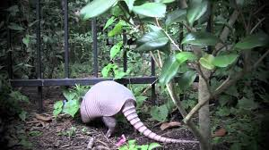 armadillos in my backyard windsor lakes the woodlands tx youtube