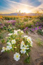 anza borrego desert state park wildflower super bloom travel