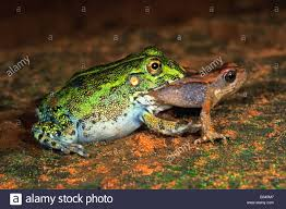 cannibalistic african giant bullfrog pyxicephalus adspersus stock