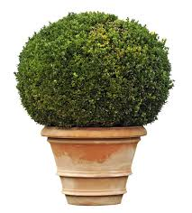 Shrubs For Patio Pots Can Boxwoods Be Planted In Pots Tips On Growing Boxwood Shrubs In