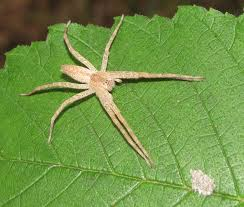 bug eric spider sunday slender crab spiders and their look a likes