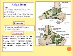 Talus Ligaments Knee Joint Type Is The Most Complicated Joint In The Body Ppt