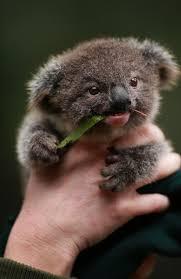 ankh morpork photo photography pinterest baby koala