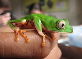 the mind blowing frogs of peru the amphibian avenger