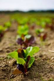 planting fall and winter vegetables good for nutrition and good