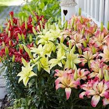 asiatic lilies bulbs easy asiatic bulb collection asiatic lilies
