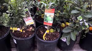 cheap kaffir lime plants at home depot