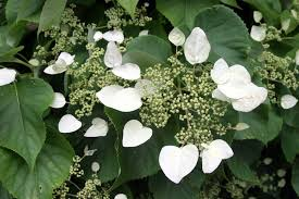 Climbing Plants That Flower All Year - everything you need to know about climbing hydrangea dengarden