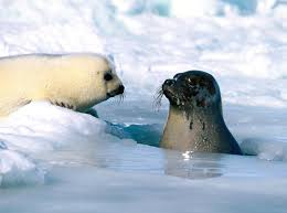 baby harp seal u2013 a cute a day