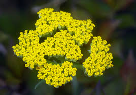 plants native to pennsylvania yarrow how to plant grow and care for yarrow plants the old