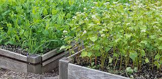prepare your vegetable garden for winter with a cover crop