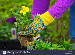 gardening planting flowers woman holding flower plants to plant