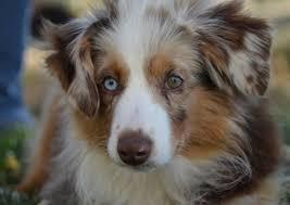 australian shepherd top speed the definitive ranking of dog breeds